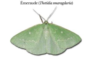thetidia-smaragdaria
