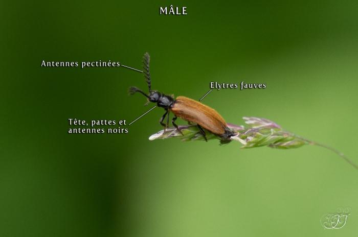 Drilus flavescens