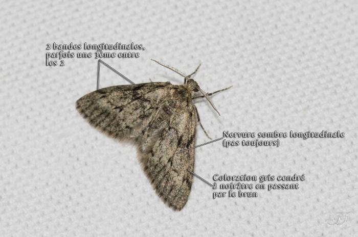Tephronia sepiaria