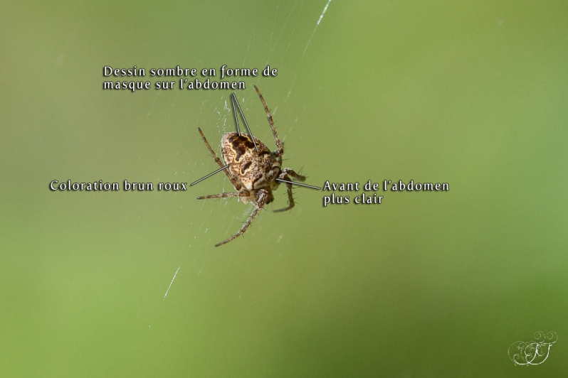 Zilla diodia