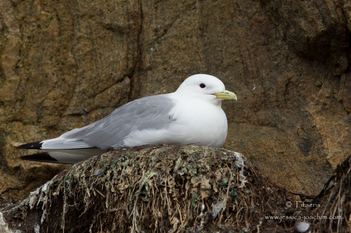 Mouette tridactyle-Stø 09.08.2015