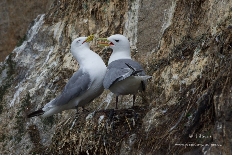 Mouette tridactyle-Stø 10.08.2015