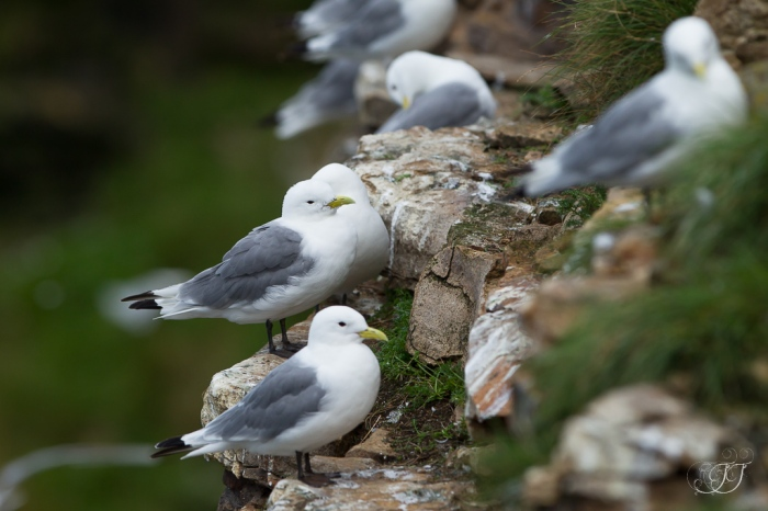 Mouette tridactyle-Ekkerøy 11.08.2016