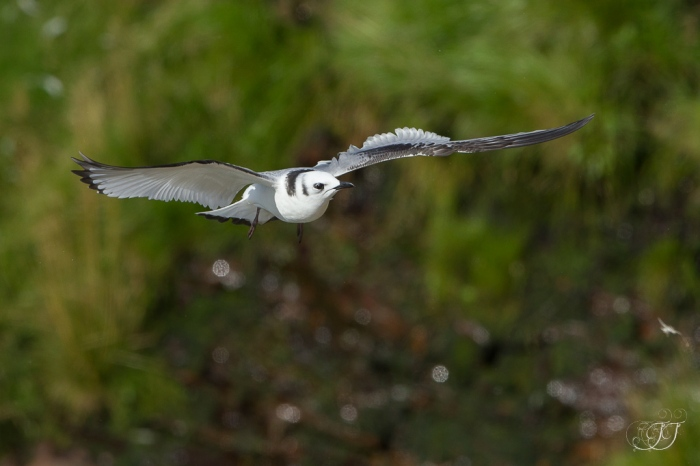 Mouette tridactyle-Ekkerøy 14.08.2016