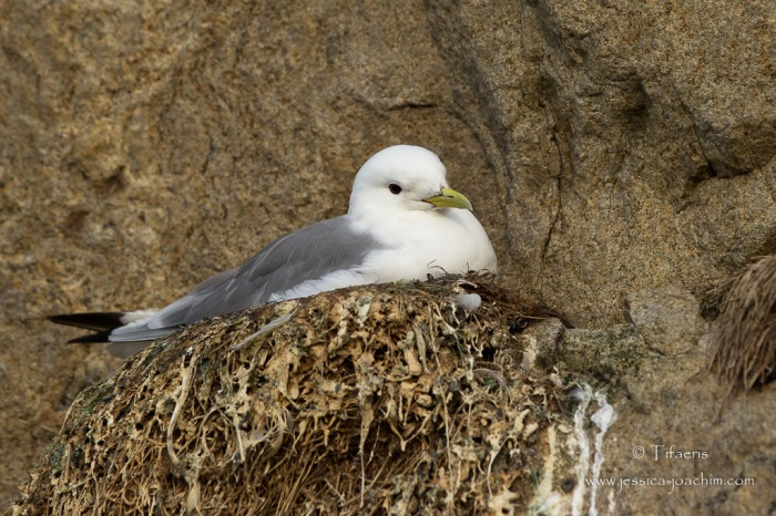 Mouette tridactyle-Stø 11.08.2015