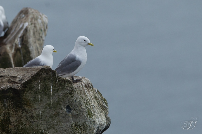 Mouette tridactyle-Hornøya 06.08.2016