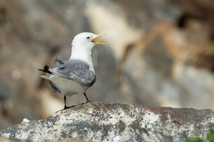 Mouette tridactyle-Hornøya 13.08.2016
