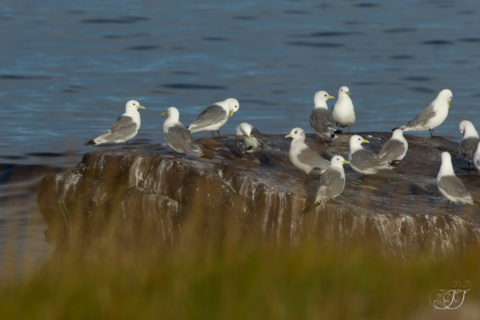 Mouette tridactyle-Vadsøya, 04.08.2016