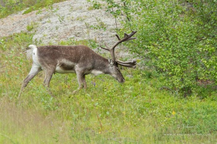 Renne-Suède 07.08.2015