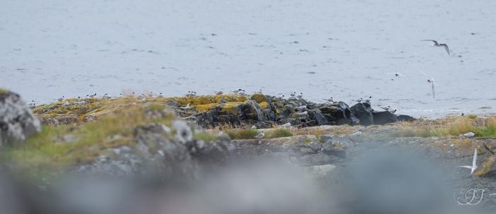Sterne arctique-Vardø 06.08.2016