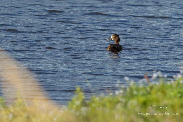 Fuligule morillon-Hornborgasjön 17.08.2015