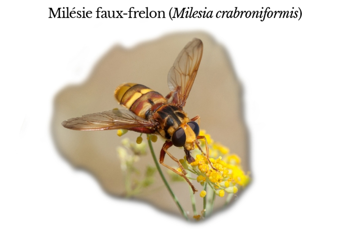 milesia-crabroniformis