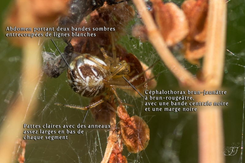 Phylloneta sisyphia-Phylloneta impressa