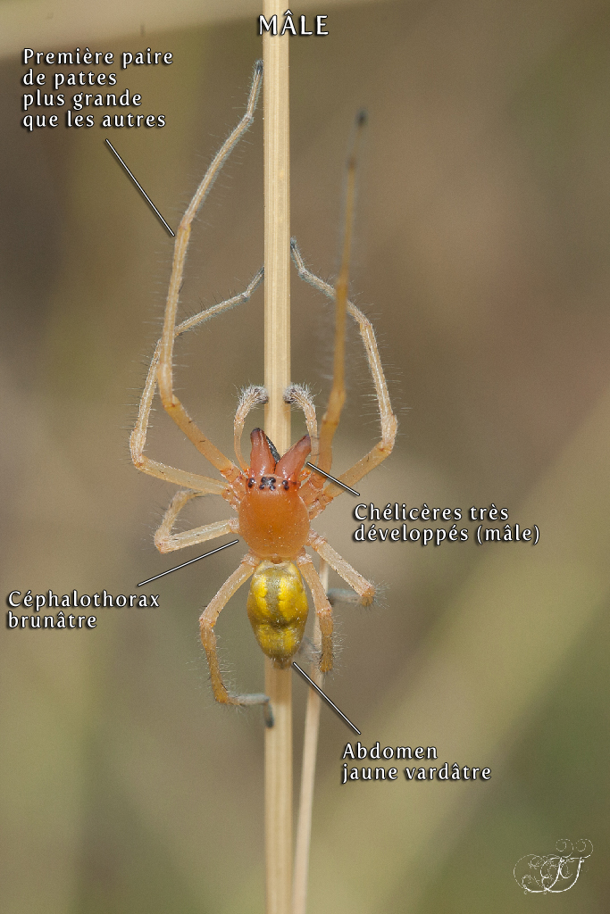 Cheiracanthium sp