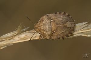 Eurygaster maura-Domaine des oiseaux 05.07.2015