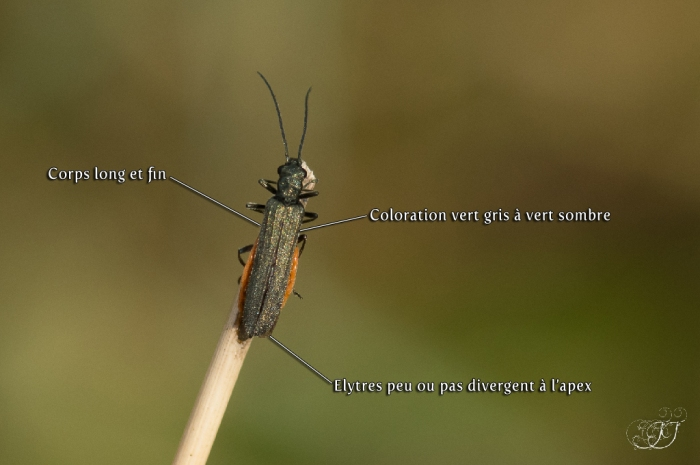 Oedemera virescens-lurida-monticola