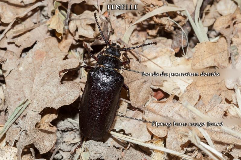 Prione tanneur