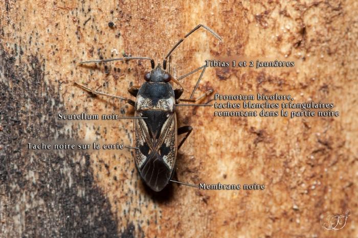 Rhyparochromus vulgaris