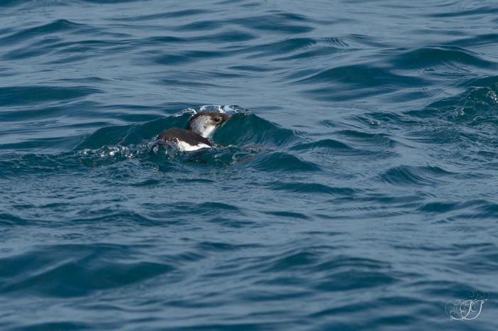 Pingouin torda-La Grande-Motte 19.03.2016