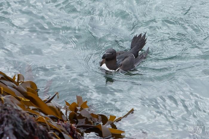 Pingouin torda-Hornøya 06.08.2016