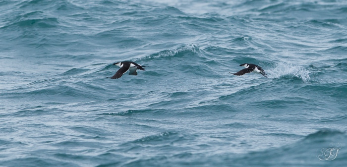 Pingouin torda - La Grande-Motte 04.02.2017