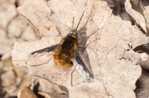 Bombylius major-Puivert, 12.03.2016