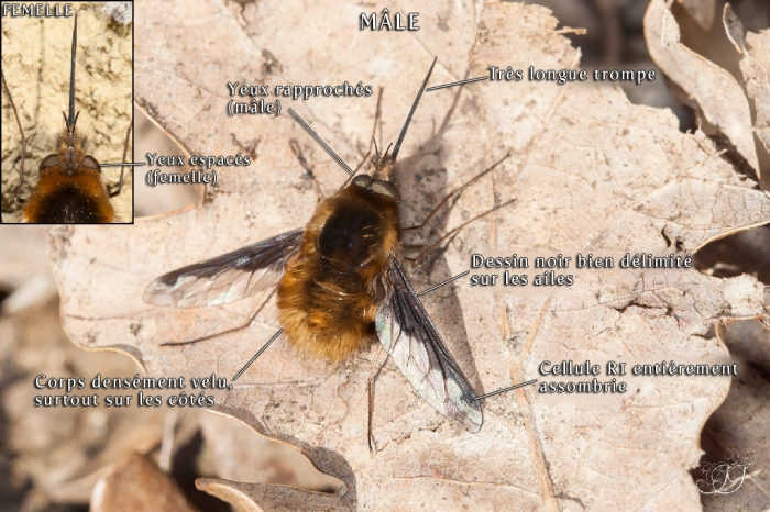 Bombylius major