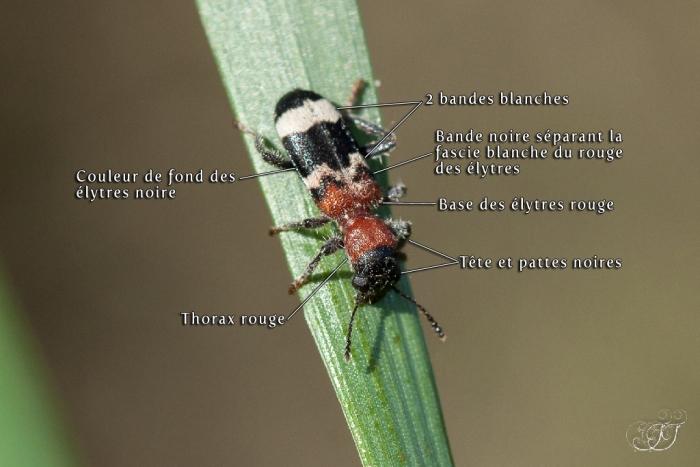 Clairon des fourmis