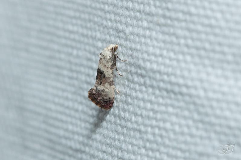 Cochylis posterana-Soirée papillons DDO 22.04.2016