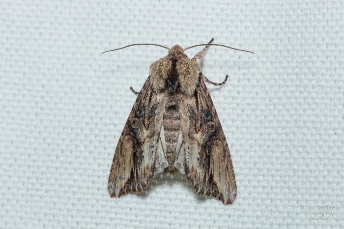 Egira conspicillaris-Soirée papillons DDO 22.04.2016