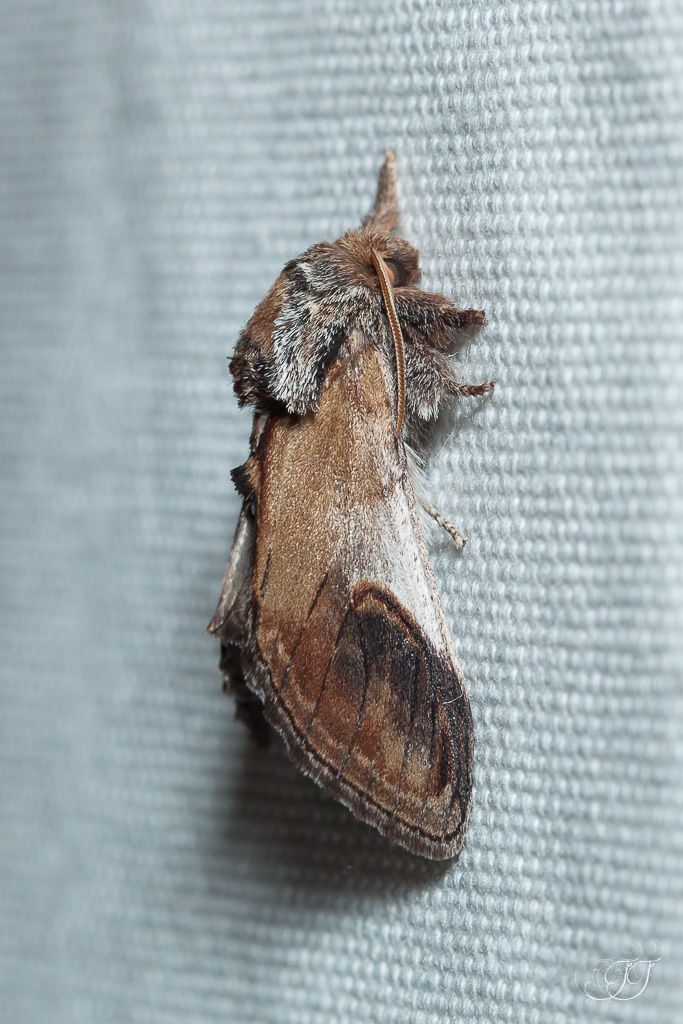 Notodonta ziczac-Soirée papillons DDO 22.04.2016