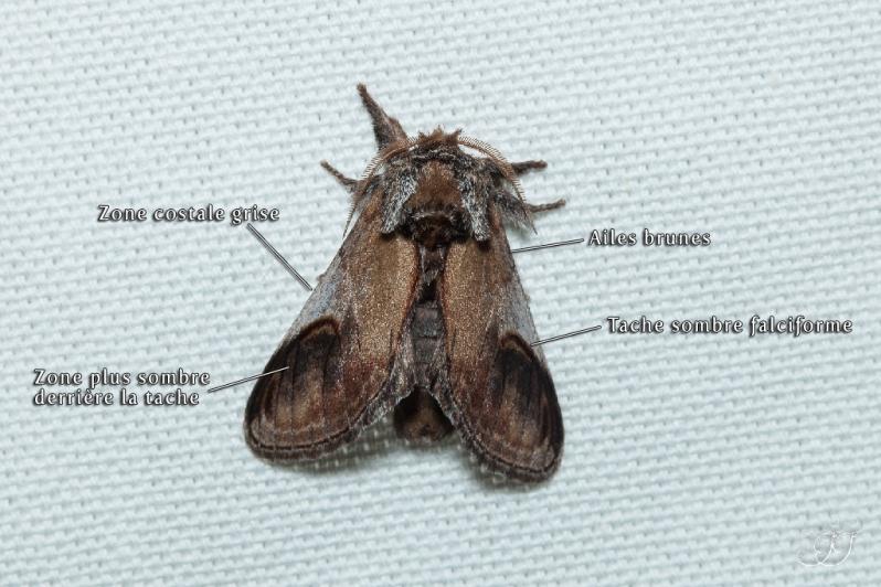 Notodonta ziczac
