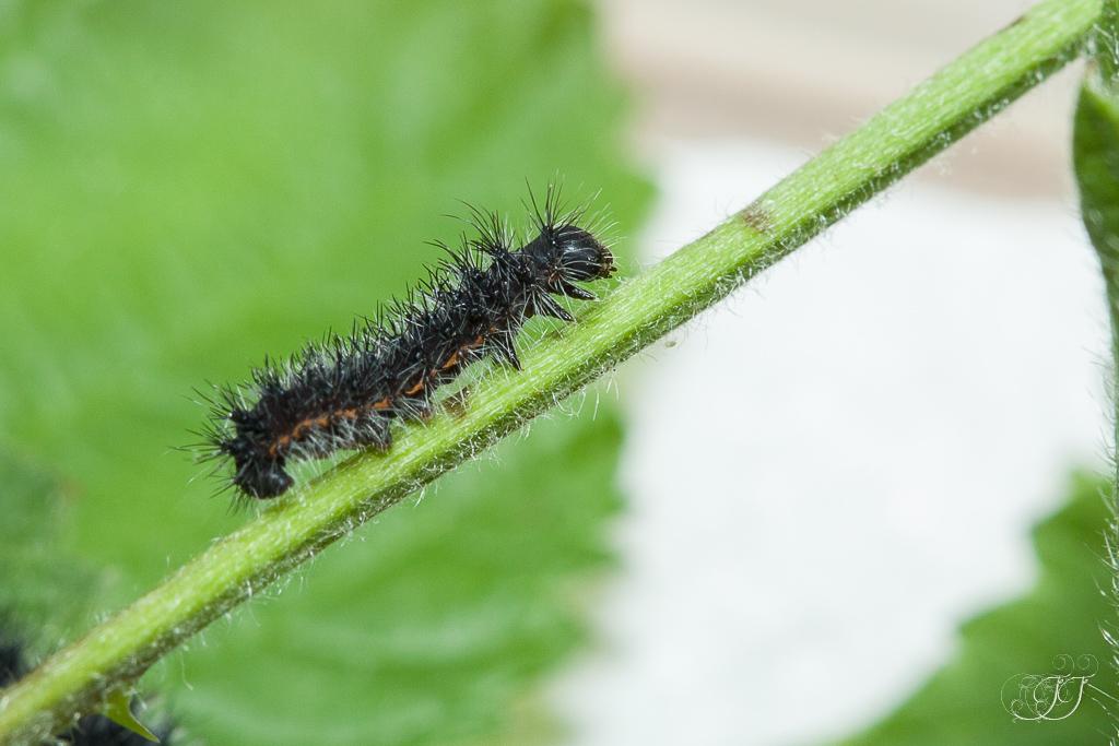 Petit paon de nuit saturnia pavonia de l uf au papillon - Que mange les papillons de nuit ...