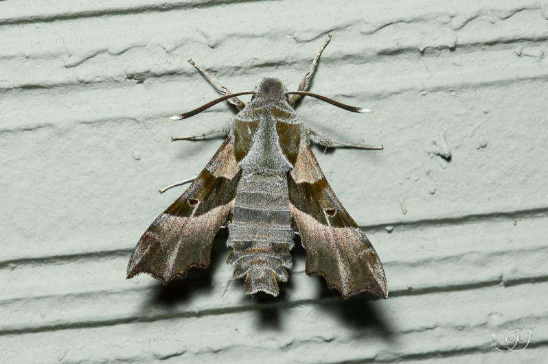 Proserpinus proserpina-Soirée papillons DDO 22.04.2016