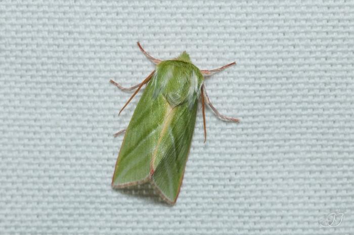 Pseudoips prasinana-Soirée papillons DDO 22.04.2016