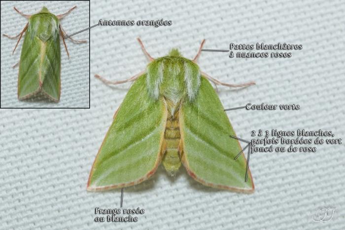 Pseudoips prasinana