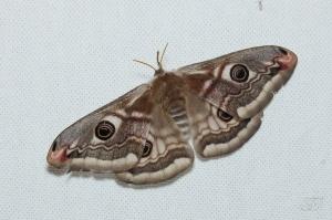 Saturnia pavonia-Soirée papillons DDO 22.04.2016