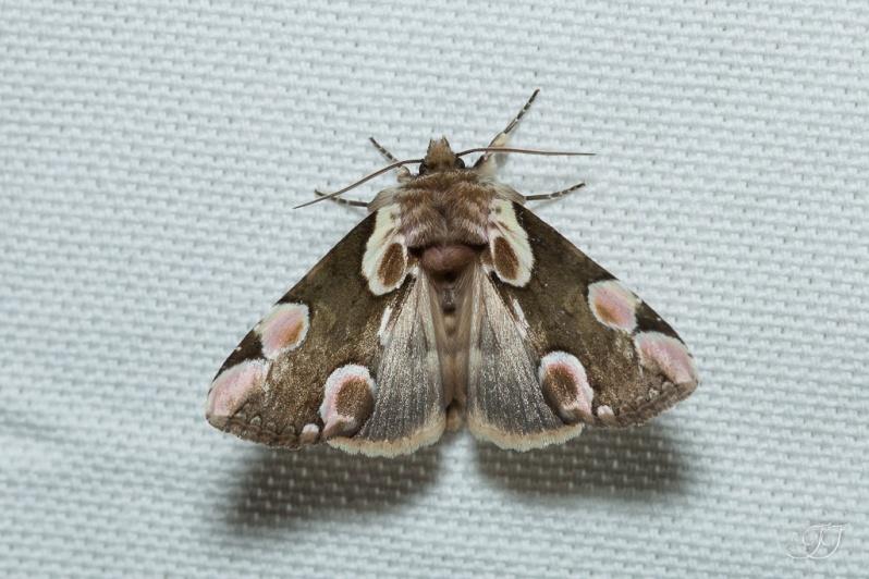 Thyatira batis-Soirée papillons DDO 22.04.2016