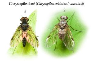 chrysopilus-cristatus