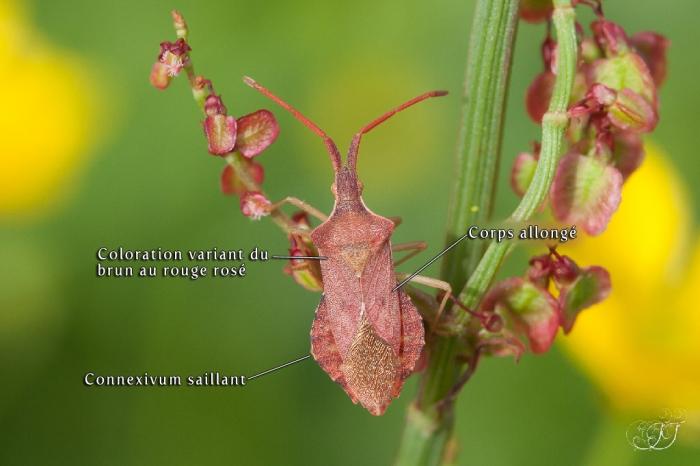 Haploprocta sulcicornis