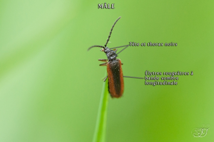 Omalisus fontisbellaquaei