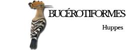 bucerotiformes