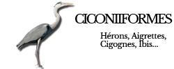 ciconiiformes