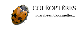 coleopteres