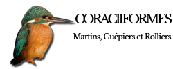 coraciiformes
