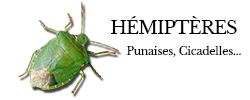 hemipteres