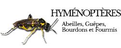 hymenopteres