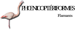 phoenicopteriformes