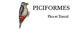 piciformes