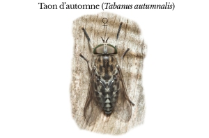tabanus-autumnalis